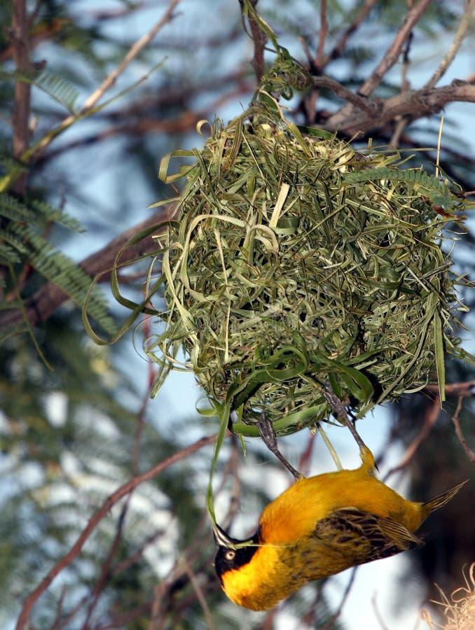 Gele vogel die zijn huis bouwt stock foto