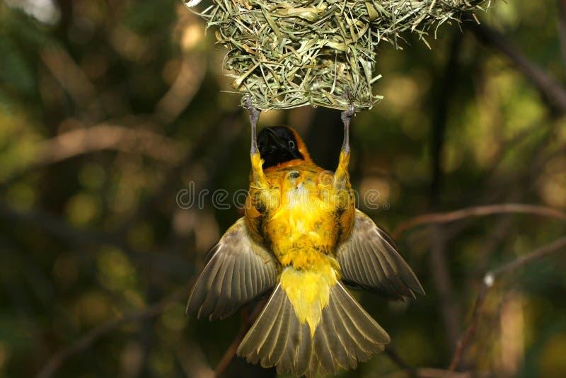 Gele vogel het hangen hoogte in lucht van nest stock foto
