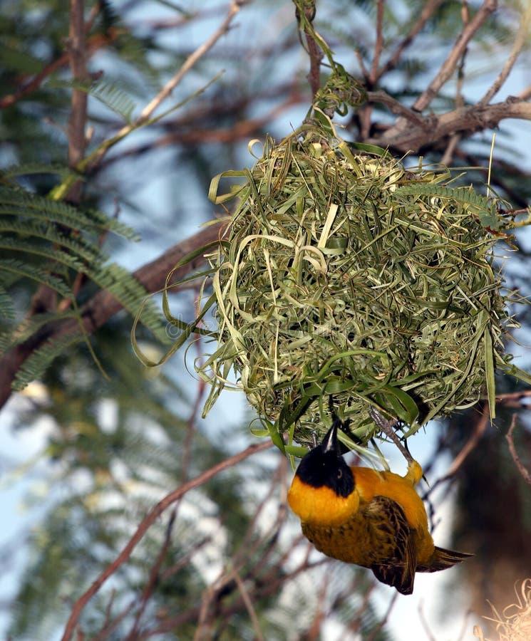 Gele vogel het hangen hoogte in lucht van nest stock afbeelding