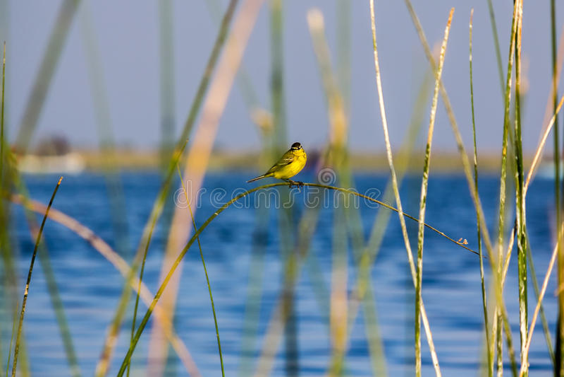 Gele vogel op een gras stock afbeelding