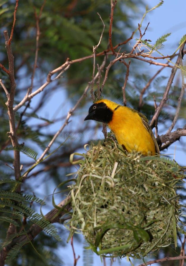 Gele vogelzitting hoog in lucht op nest stock afbeeldingen
