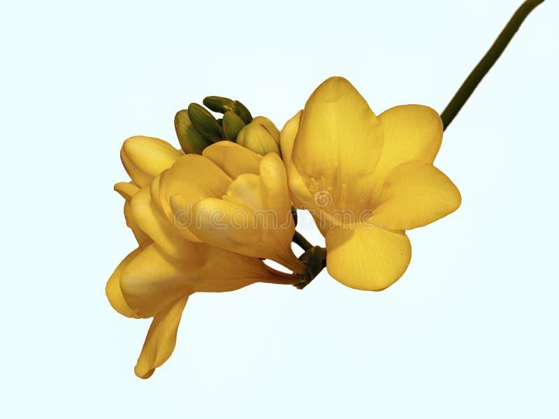 Gele vrieskastjes geïsoleerde witte achtergrond royalty-vrije stock fotografie