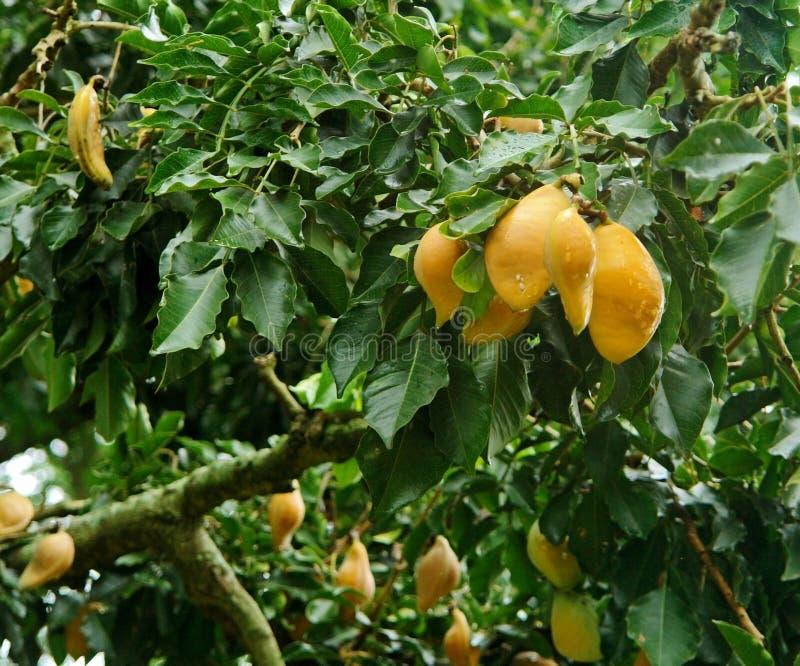 Gele vruchten in Oeganda royalty-vrije stock foto