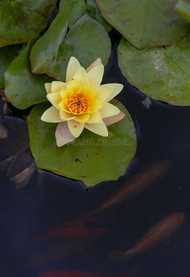 Gele waterlelie in de vijver met koivissen stock afbeelding