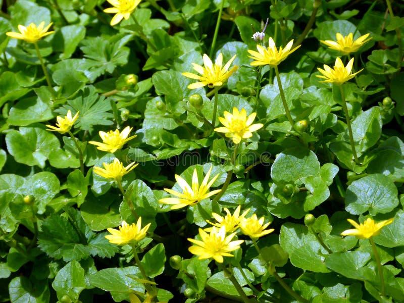 Gele wilde bloemen onder groene bladeren royalty-vrije stock afbeeldingen