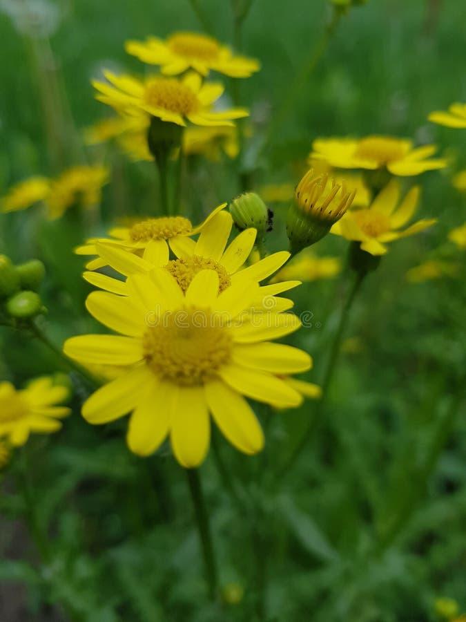 Gele wilde bloemen op een groene achtergrond royalty-vrije stock foto's