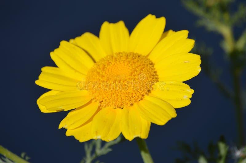 Gele Wildflower royalty-vrije stock foto