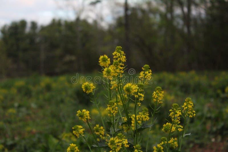 Gele wildflowers op een gebied in de lente stock afbeeldingen