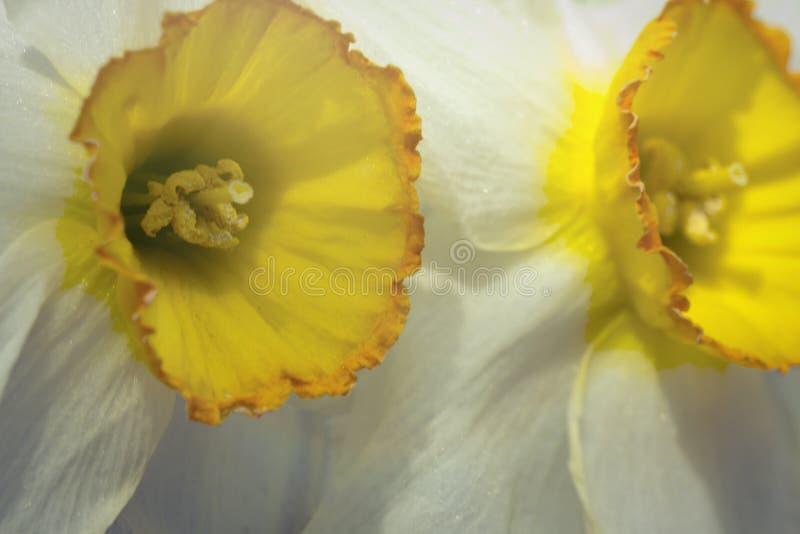 Download Gele Witte Gele narcis stock afbeelding. Afbeelding bestaande uit flora - 54092329