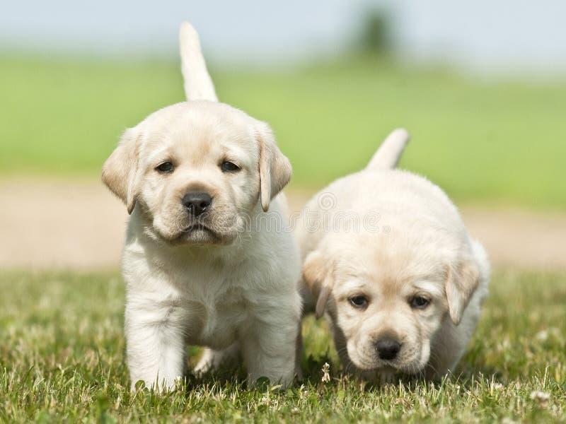 Gele witte Labrador stock afbeelding