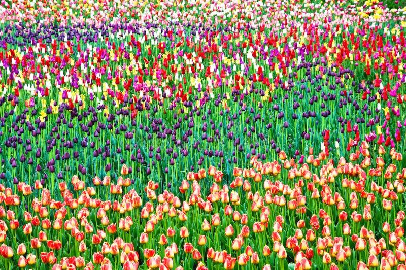 Gele witte tulpen royalty-vrije stock afbeelding