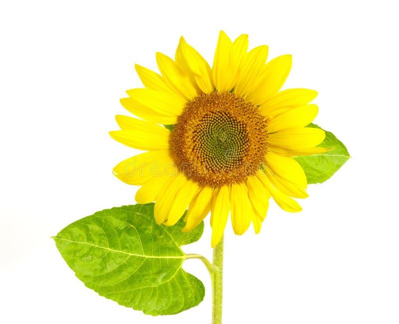 Download Gele zonnebloem stock afbeelding. Afbeelding bestaande uit gebied - 10776957