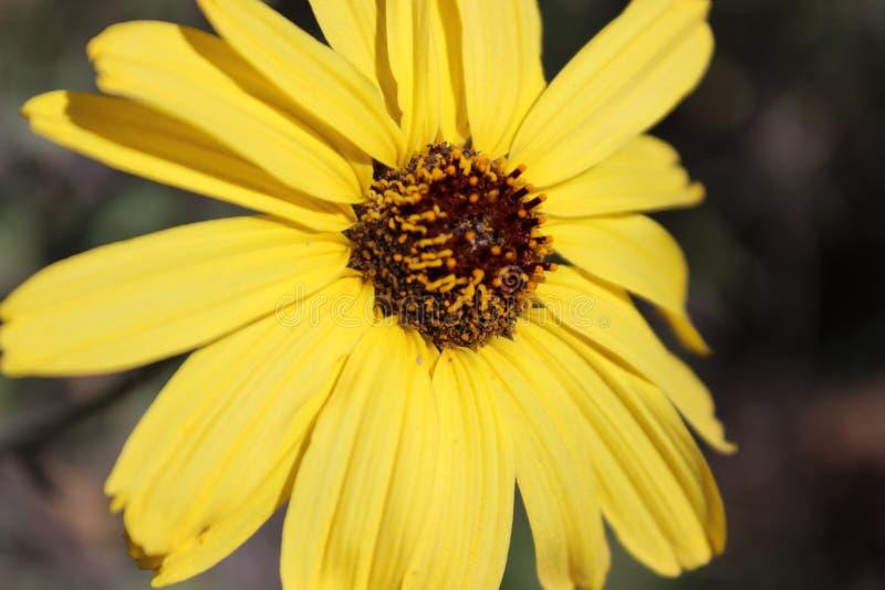 gele zonnebloem stock fotografie