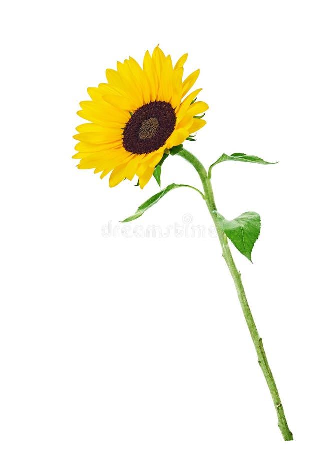 Gele zonnebloem stock foto's