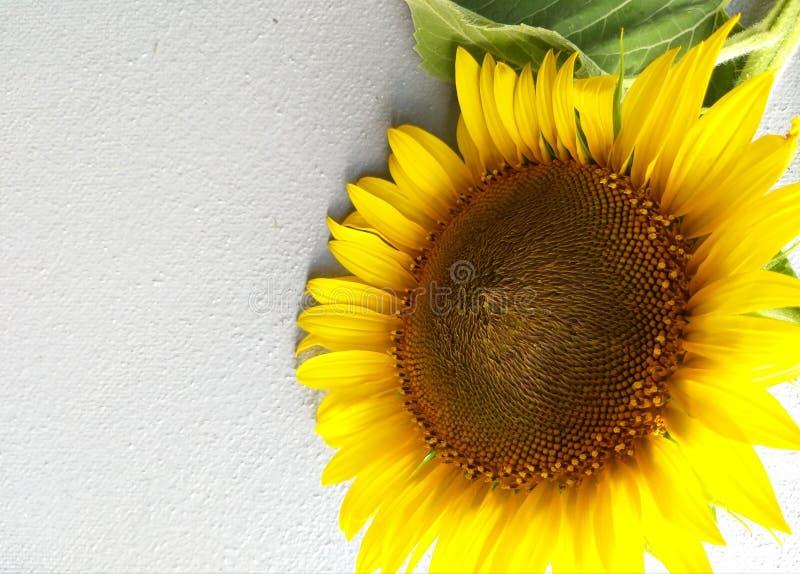 Gele zonnebloem, bloemachtergrond stock foto