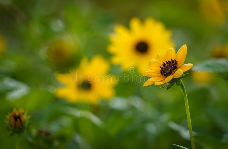 Download Gele Zonnebloem In De Voorgrond Stock Afbeelding - Afbeelding bestaande uit zijn, georgië: 107708203