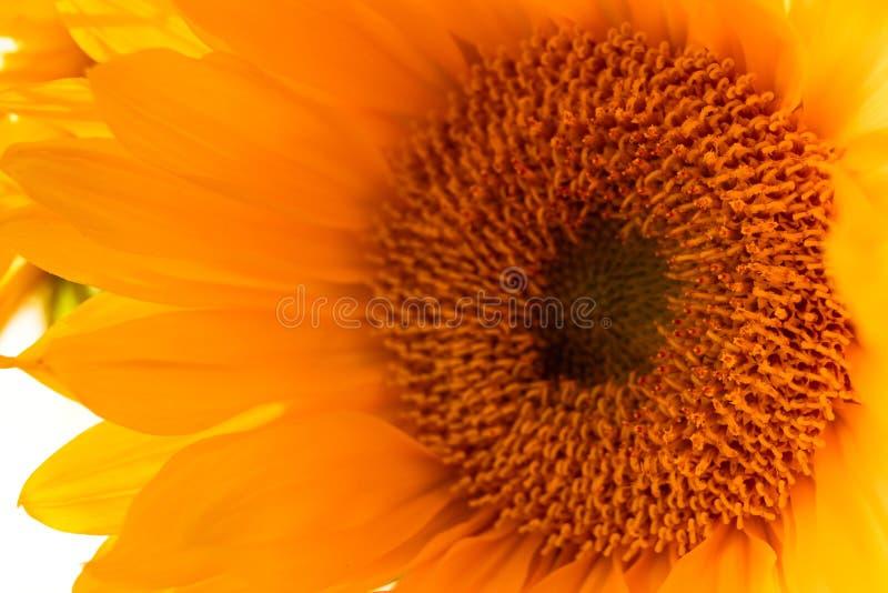 Gele Zonnebloem Dichte Omhooggaand op Witte Achtergrond stock foto's
