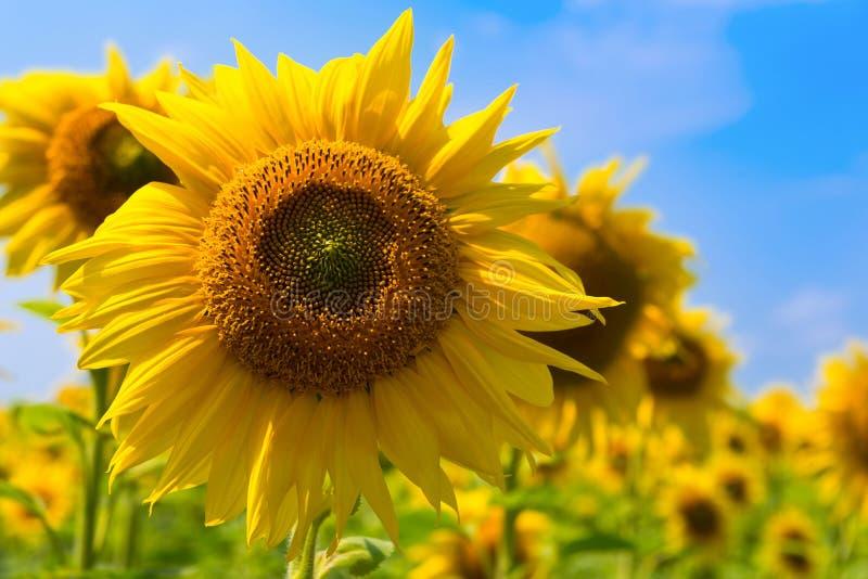 Gele zonnebloem, gebied van zonnebloemen Sluit omhoog van een zonnebloem tegen de achtergrond van de blauwe hemel stock foto's