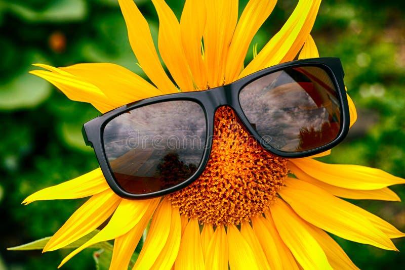 Gele zonnebloem met zonnebril stock afbeelding