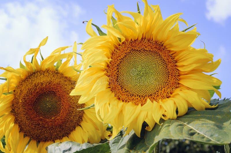 Gele zonnebloembloem tegen de blauwe hemel Mooie natuurlijke achtergrond royalty-vrije stock fotografie