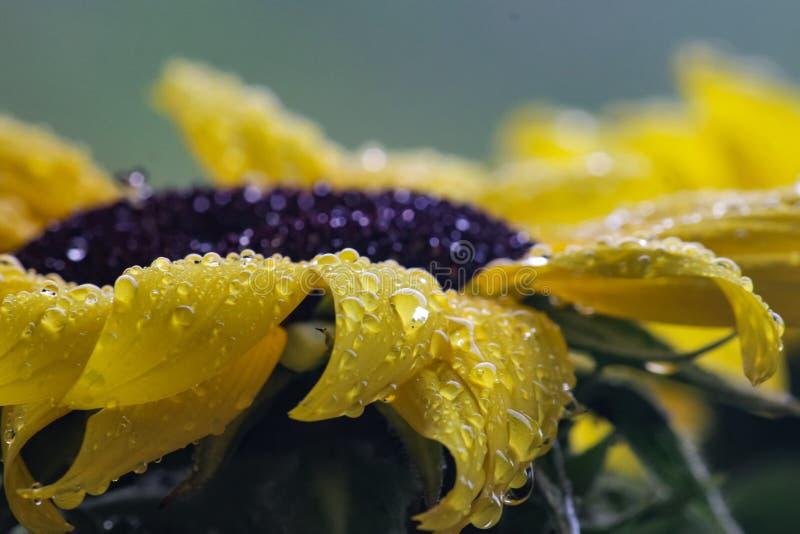 Gele zonnebloemclose-up met regendruppels royalty-vrije stock fotografie