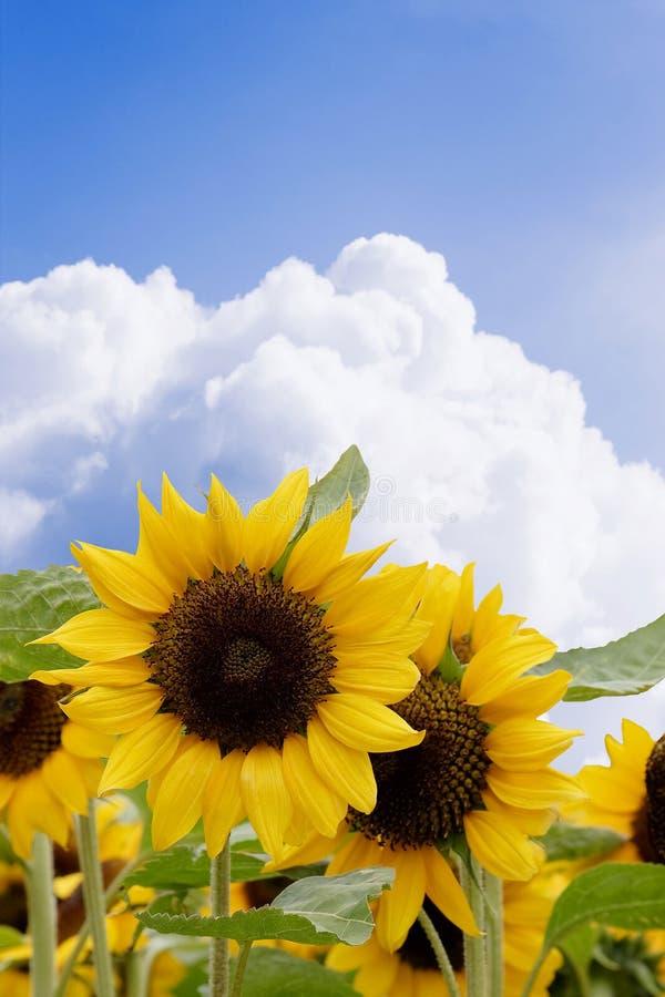 Gele zonnebloemen stock foto's