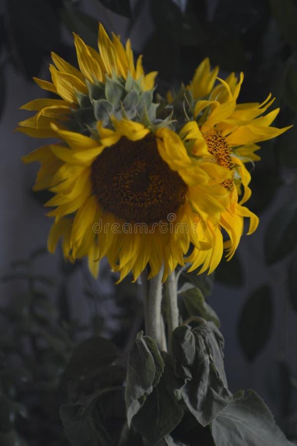 Gele zonnebloemen stock afbeeldingen