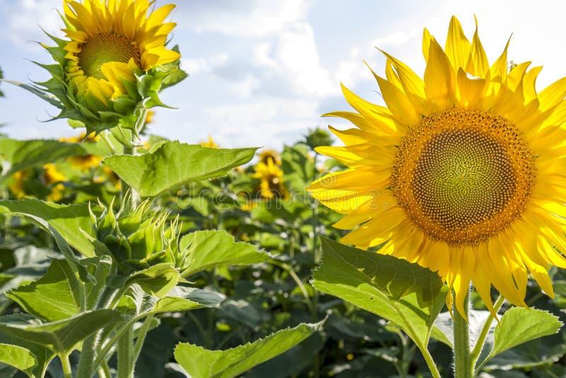 Gele zonnebloemen op gebied stock afbeelding