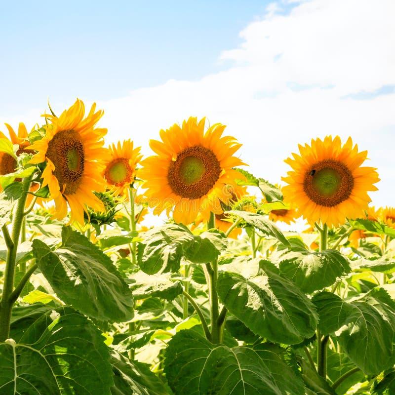 gele zonnebloemen op gebied onder blauwe hemel royalty-vrije stock fotografie