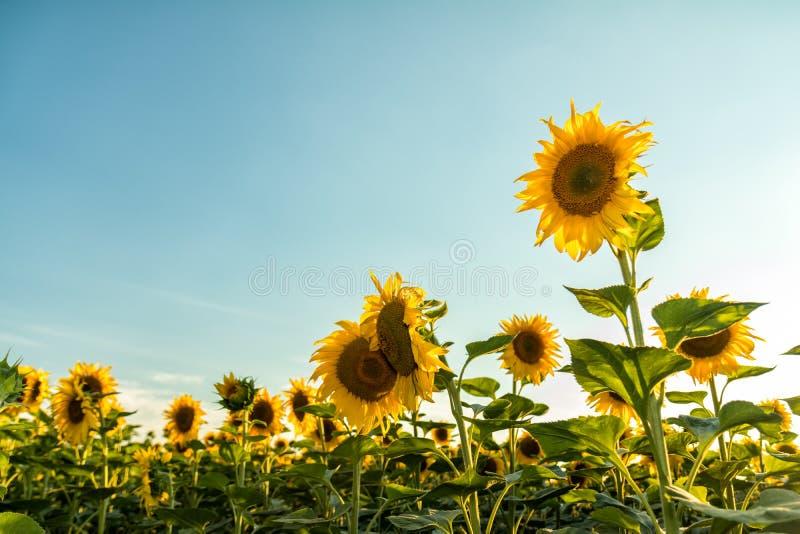 Gele zonnebloemen op gebiedslandbouwgrond met blauwe bewolkte hemel royalty-vrije stock afbeeldingen