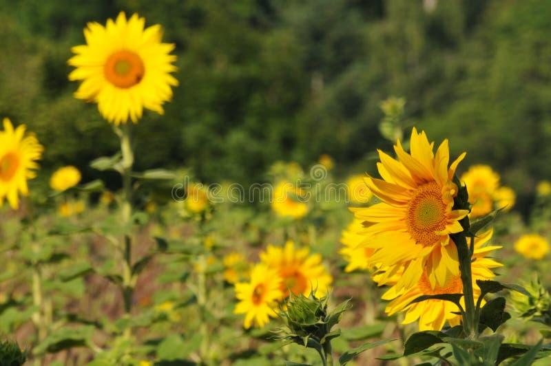 Gele zonnebloemen op landbouwgebied in de zomer stock foto
