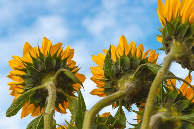 Gele Zonnebloemen tegen Mooie Bewolkte Blauwe Hemel royalty-vrije stock fotografie