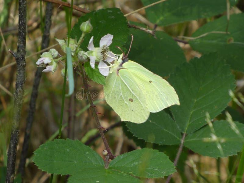 Gele zwavelvlinder op de witte bloesem van een braam stock afbeelding