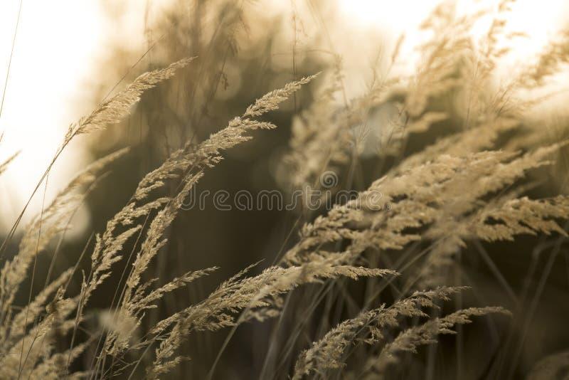 Gelegentliches Gras des Herbstes, das in den Wind wellenartig bewegt lizenzfreie stockfotografie