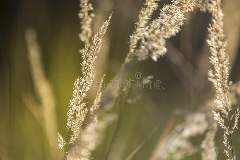Gelegentliches Gras des Sommers im Sonnenuntergang lizenzfreies stockfoto