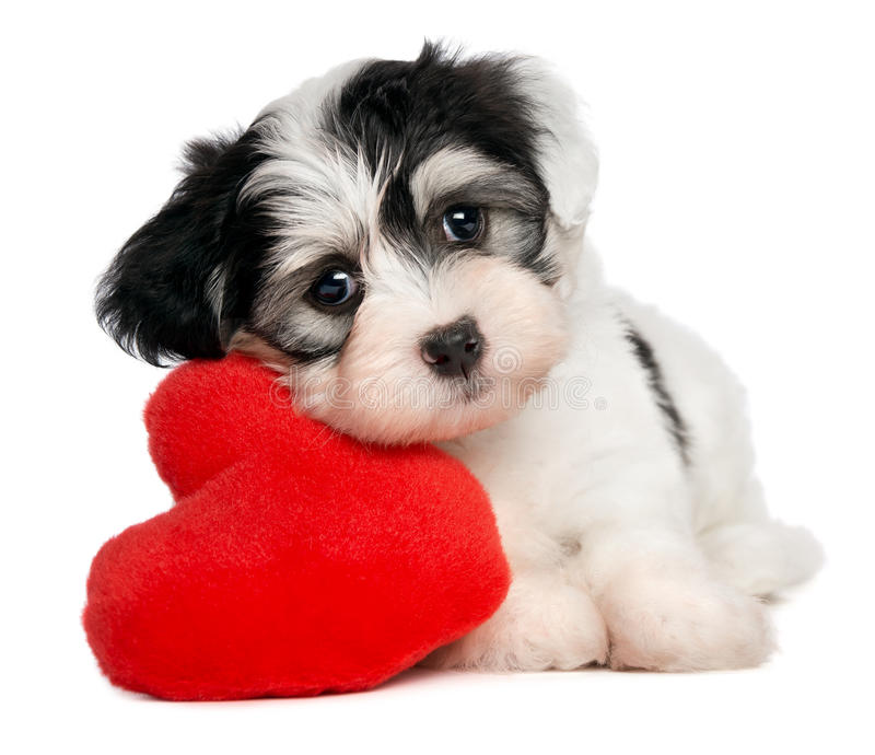 Geliebt-Valentinsgruß Havanese Welpe lizenzfreies stockbild