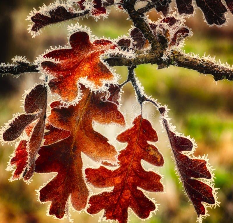 Gelo di caduta sulle foglie di autunno immagini stock
