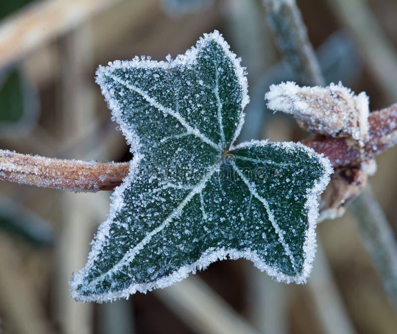 Gelo sul foglio dell'edera fotografia stock