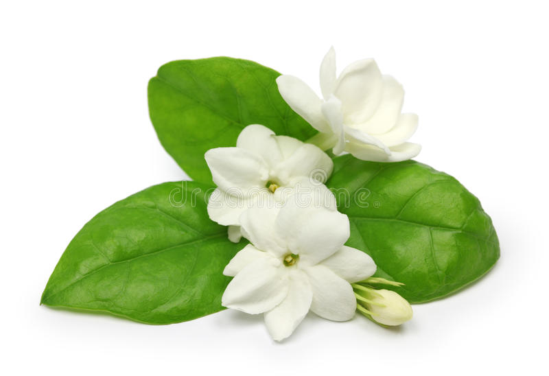 Gelsomino arabo, fiore del tè del gelsomino fotografia stock