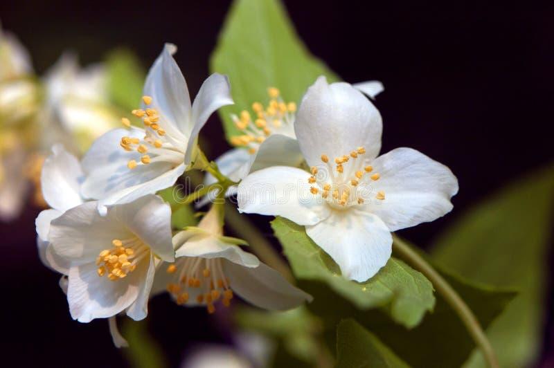 Gelsomino bianco dolce, corniolo inglese fotografia stock libera da diritti