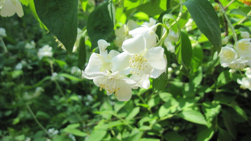 Gelsomino del fiore della natura fotografia stock libera da diritti