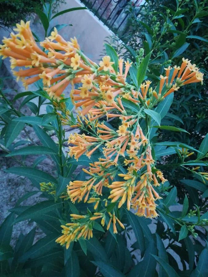 Gelsomino di fioritura di notte, fiore arancio di fioritura di colore di bella notte fotografia stock