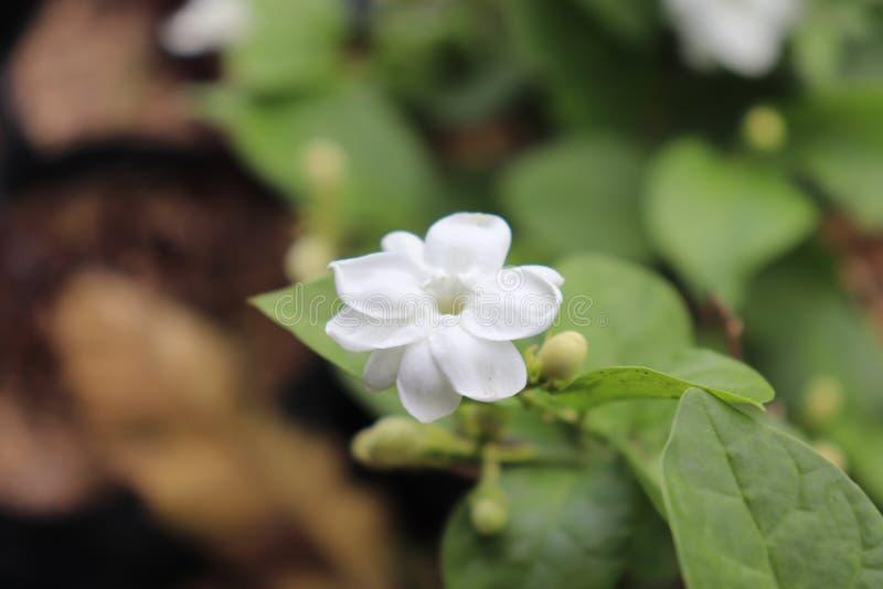 Gelsomino Fiore fragrante Fioritura bianco, fotografia stock