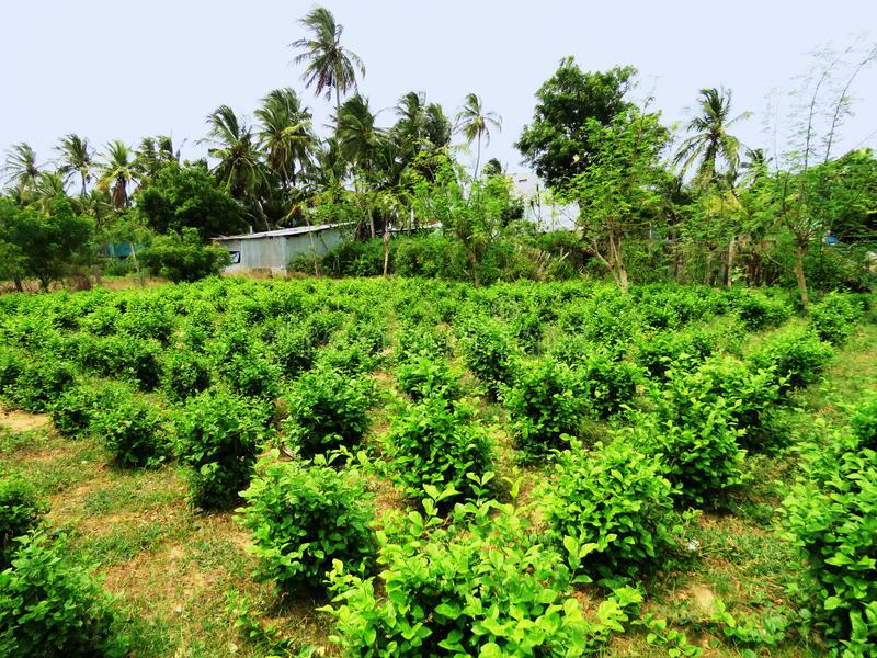 Gelsomino, sambac del Jasminum, coltivazione, golfo della riserva di biosfera di Mannar, Tamil Nadu, India immagini stock libere da diritti
