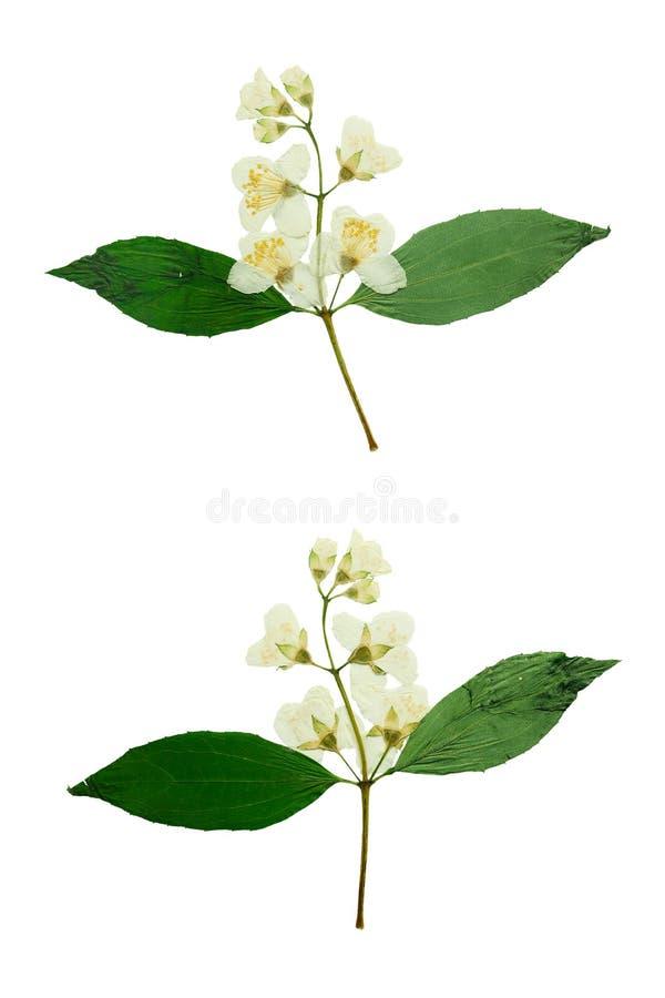 Gelsomino urgente e secco del fiore Isolato su priorità bassa bianca fotografia stock