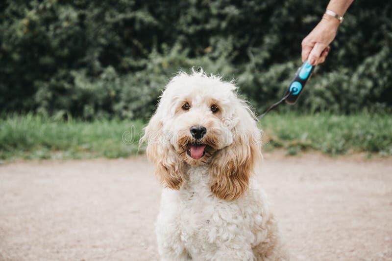 Gelukkig Cockapoo-puppy op een leiband zitting en het bekijken de camera stock afbeelding