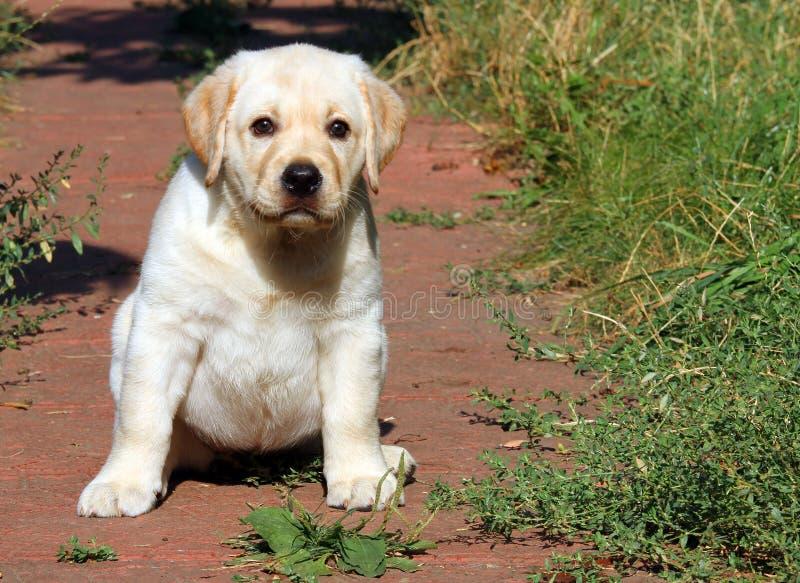 Gelukkig geel het puppyportret van Labrador in de tuin royalty-vrije stock fotografie