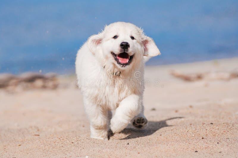 Gelukkig golden retrieverpuppy die bij het strand lopen stock afbeeldingen