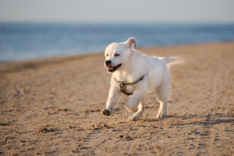 Gelukkig golden retrieverpuppy die op een strand lopen royalty-vrije stock foto