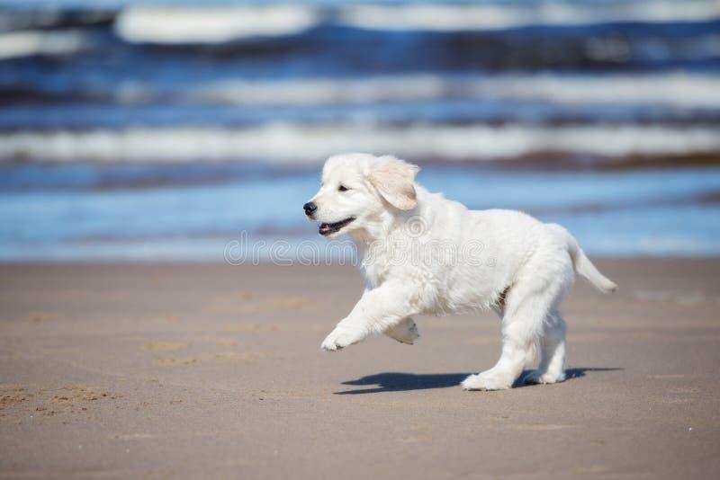 Gelukkig golden retrieverpuppy op een strand stock foto's